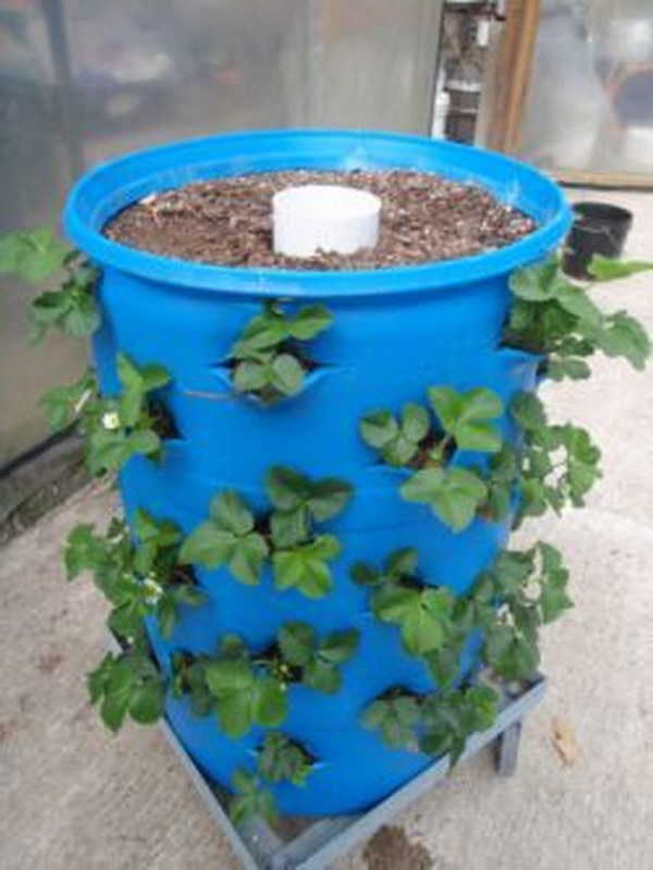Self-Watering Barrel Garden In A 55 Gallon Drum.